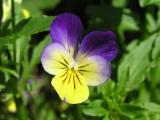 Driekleurig viooltje (eet smakelijk)