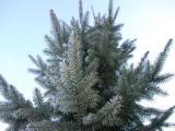 Kerstboom in de tuin: waar moet je op letten?
