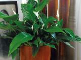Makkelijk en mysterieus: Spathiphyllum