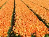 Het land van de bloembollen