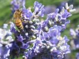 De populariteit van lavendel
