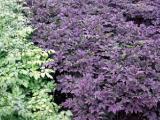 Donkere accenten in de tuin