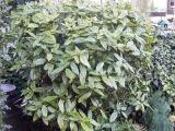 Aucuba (Broodboom): Lekker makkelijk