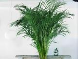 Vakantiegevoel met de Chrysalidocarpus