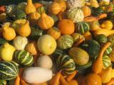 Pompoenen kleuren de herfst