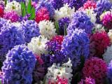 Voorjaarbloeiende bollen planten