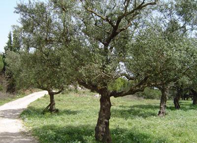 Olijfboom onderhoud