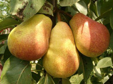 Fruit leibomen