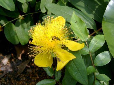 Bodembedekker met gele bloemen