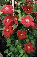 Het hele jaar plezier van klimplanten - Pergola klimplant ...