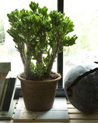 Succulenten soorten
