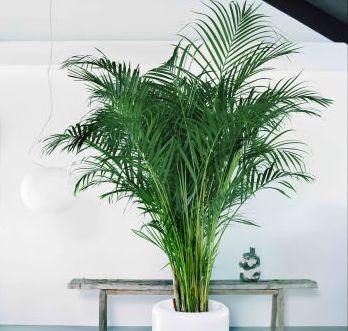 Huiskamer palm